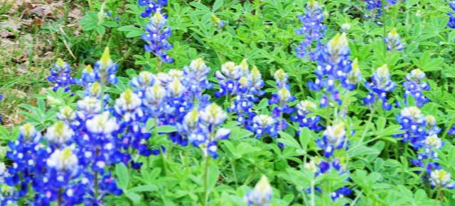 Bluebonnets in Boerne