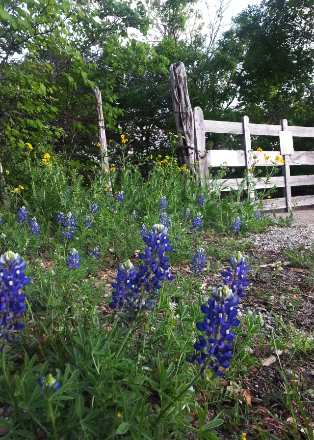 Texas Bluebonnets in front of the ranch next to our house.