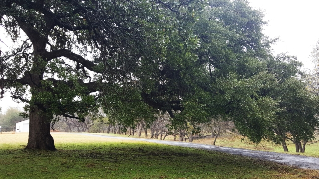 Old Giant Oak tree in Texas Hill Country. Leakey Texas.
