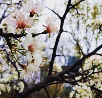 tree blooms (2)
